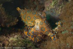 BD-160101-Malapasqua-1847-Hapalochlaena-lunulata-(Quoy---Gaimard.-1832)-[Greater-blue-ringed-octopus].jpg